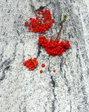 Rowan branches with bunches of ripe berries on Viscount White gr Royalty Free Stock Photo