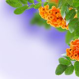 Rowan branches with fruits. Stock Image