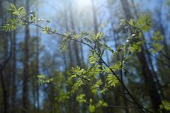 Rowan branches with loose leaves in the forest in spring stock photo