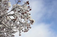 Rowan branches with red berries under the snow in winter against the blue sky. With clouds stock photography