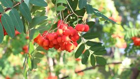 Rowan branches with ripe fruits close-up. Red rowan berries on the rowan tree branches, ripe rowan berries closeup and green stock video footage
