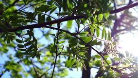 Rowan branches with young leaves swaying in the wind. The sun's rays shine in the branches of a mountain ash. Natural vegetable background. Sunny day. Close-up stock video footage
