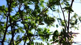 Rowan branches with young leaves swaying in the wind. The sun's rays shine in the branches of a mountain ash. Natural vegetable background. Sunny day. Close-up stock footage