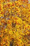 Rowan. rowanberry. rowan-tree. sorb. wild ash. Rowan in the brightest clusters, red and yellow royalty free stock photography