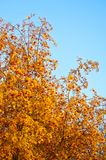 Rowan. rowanberry. rowan-tree. sorb. wild ash. Rowan in the brightest clusters, red and yellow stock images