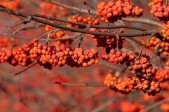 Rowan. rowanberry. rowan-tree. sorb. wild ash. Rowan in the brightest clusters, red and yellow royalty free stock photo