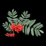 Rowan brunch with berries and leaves on black background. Highly detailed realistic vector illustration of of rowan brunch with berries and leaves on black Royalty Free Stock Photos