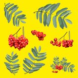 Rowan brunch with berries and leaves isolated by groups. Highly detailed realistic vector illustration of of rowan brunch with berries and leaves isolated by Stock Photo