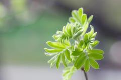 Rowan bud bursting into green leaves. Ash tree twig, branch macro view. Soft focus, copy space Royalty Free Stock Image