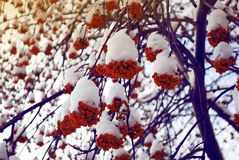 Rowan bunches of snow on the branches royalty free stock image