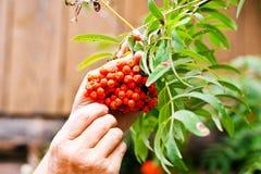 Rowan bush. Man collects rowan berries in the garden Royalty Free Stock Photo