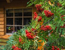 Rowan Bush in front of the house. Decorating a country house. Autumn kinds of suburban landscape design. Wooden country house. Royalty Free Stock Images
