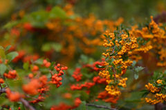 Rowan bush Royalty Free Stock Images