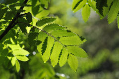 Rowan. Close up of rowan tree leaves in taiga forest royalty free stock photography
