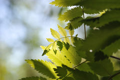 Rowan. Close up of rowan tree leaves in taiga forest royalty free stock image
