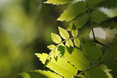 Rowan. Close up of rowan tree leaves in taiga forest royalty free stock photo