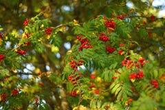 Rowan drzewa w lesie Zdjęcia Stock