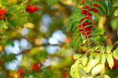 Rowan drzewa w lesie Fotografia Stock