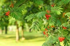 Rowan drzewa w lesie Zdjęcie Stock