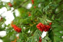 Rowan drzewa w lesie Zdjęcia Royalty Free