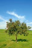 rowan drzewo Zdjęcie Royalty Free