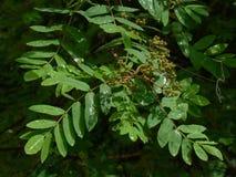 Rowan drzewo po deszczu Obraz Royalty Free