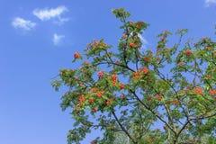 Rowan drzewo przed niebieskim niebem Zdjęcie Royalty Free