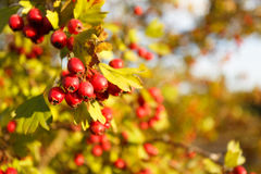 Rowan drzewo przy jesień lasem Zdjęcia Royalty Free