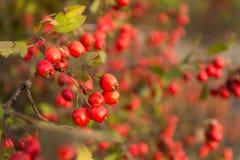 Rowan drzewo przy jesień lasem Obraz Stock
