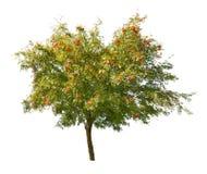 Rowan drzewo z jagodami odizolowywać na biel Obraz Royalty Free