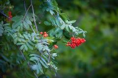 Rowan drzewo, zieleń liście Obraz Stock