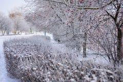 Rowan e um número de arbustos cobertos com o esmalte gelado imagem de stock royalty free