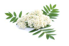 Rowan Flower Isolated On A White Background Royalty Free Stock Images