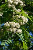 Rowan flowers. a mountain ash, in particular the European Sorbus. Aucuparia royalty free stock photography