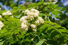 Rowan flowers. a mountain ash, in particular the European Sorbus. Aucuparia royalty free stock images