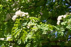Rowan flowers. a mountain ash, in particular the European Sorbus. Aucuparia royalty free stock photo