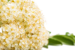 Rowan flowers. On a white background Royalty Free Stock Photo