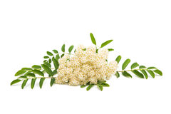 Rowan flowers. On a white background Stock Image