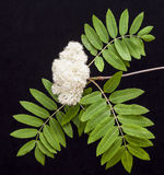 Rowan flowers (mountain ash, Sorbus aucuparia) on a black backgr Royalty Free Stock Photo