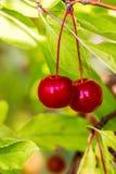 Rowan Fruit Royaltyfria Bilder