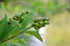 Rowan Fruit fotografie stock libere da diritti