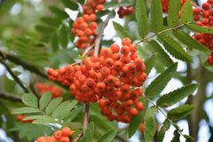 Rowan, Fruit, Sorbus, Berry royalty free stock image