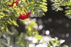 Rowan Fruit sull'albero immagini stock