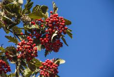 Rowan fruits agains a blue sky on a sunny day. This image shows some plants and bushes on a sunny day with rowan fruit against blue skies royalty free stock photography