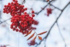 Rowan fruits, macro photo of red berries Stock Images