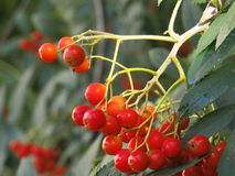 Rowan. The fruits of mountain ash on the eve of the fall royalty free stock photography