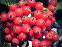 Rowan fruits Stock Photography