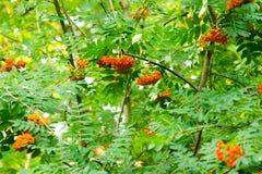 Rowan fruits Royalty Free Stock Image