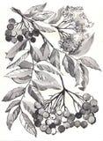 Rowan gałęziasty aquarelle Zdjęcia Royalty Free