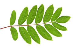 Rowan green leaf. Rowan (Sorbus aucuparia) green leaf. Closeup on white backgound Royalty Free Stock Images